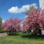 Kirschblüten in Berlin...entlang des Mauerstreifens