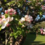 Apfelbaum nr. 2